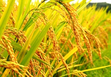NEW RICE VARIETIES